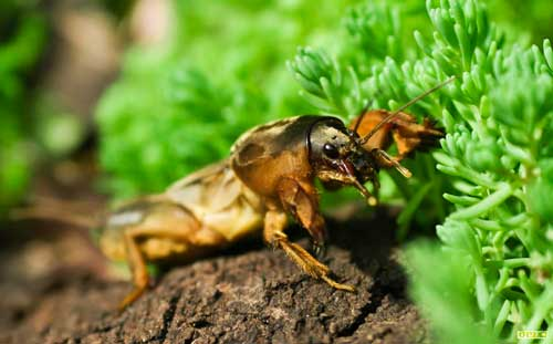 Get Rid of Mole Crickets Naturally