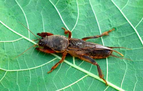 Getting Rid of Mole Crickets