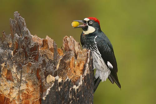 How To Get Rid Of Woodpeckers For Sure Top 13 Woodpecker