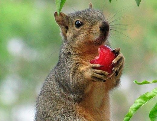 damage from ground squirrels: photo