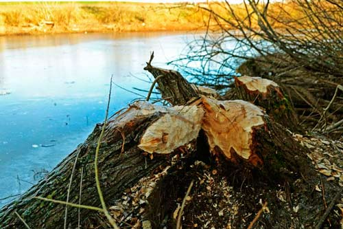 What Kind Of Damage Do Beavers: photo