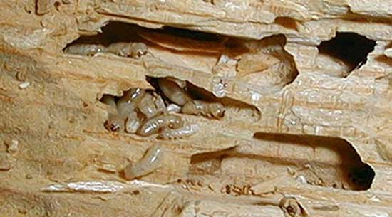 Where can you most frequently encounter termites: photo