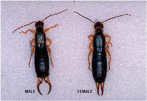 How To Get Rid Of Earwigs Top 7 Earwig