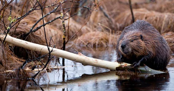 How To Get Rid Of Beavers: photo