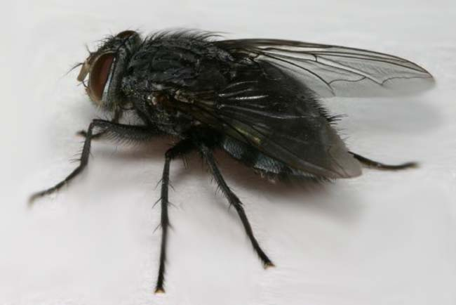 How to Get Rid Of Black Flies: photo