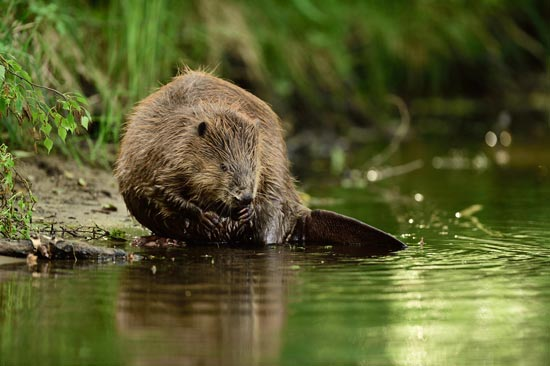 How To Identify Beavers: photo