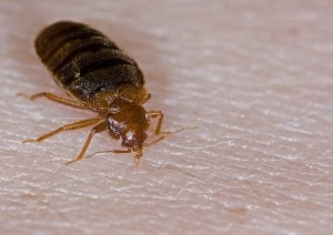 Review of the best bed bug killers sprays: how to get rid of bed bugs effectively?