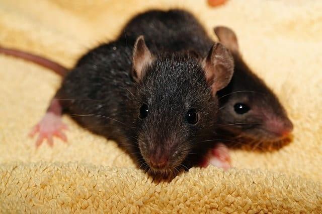 Infestación de ratas negras: foto