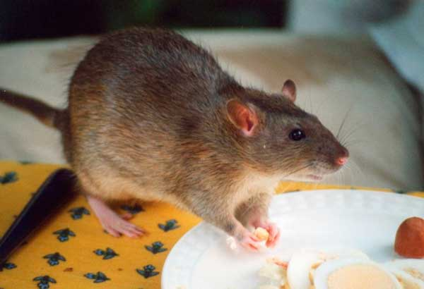 How To Get Rid Of Rats In Your House And Yard Killing Vs