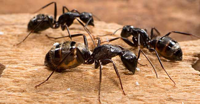 How to Get Rid of Carpenter Ants: photo