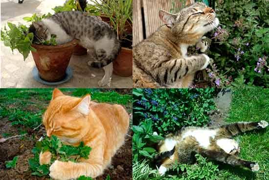 catnip-plants for cat: photo
