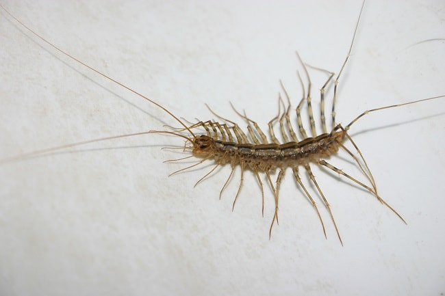 Images of house centipede bites