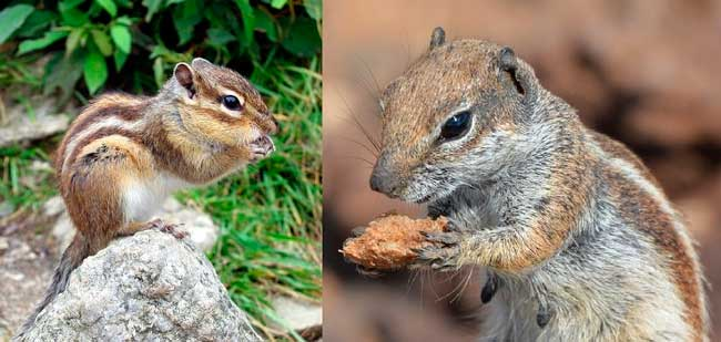 chipmunks vs. ground squirrels