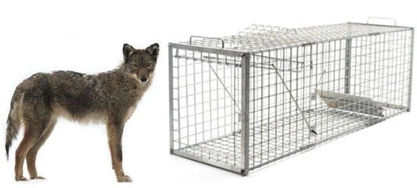 coyote cage trap: photo