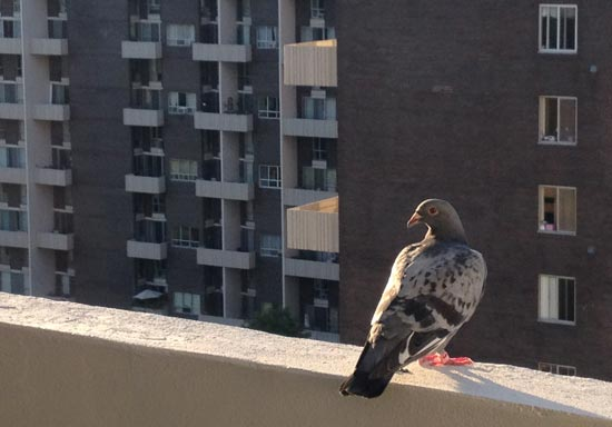 dangerous pigeons: photo