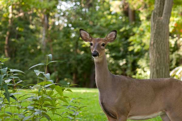 How to keep deer out of garden 9 best ways for How to keep deer out of garden fishing line