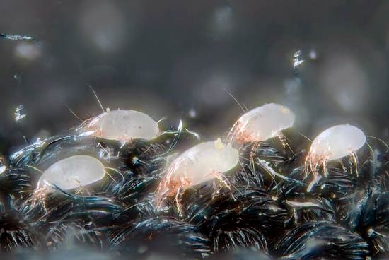 what are dust mites: photo