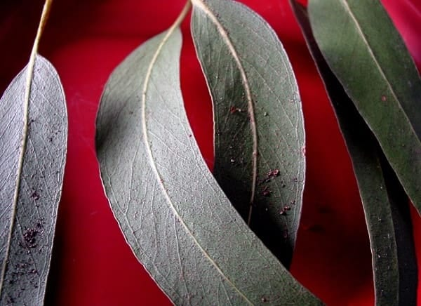 eucalyptus that keep mosquitoes away
