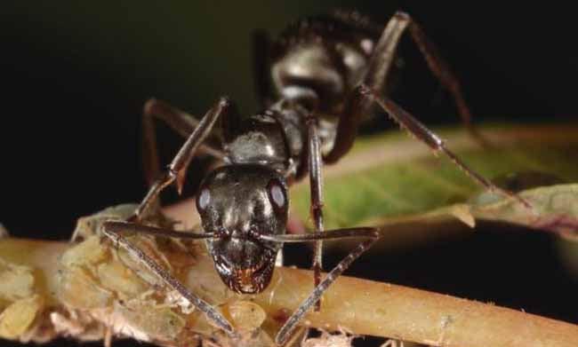 Métodos científicos de deshacerse de las hormigas carpinteras