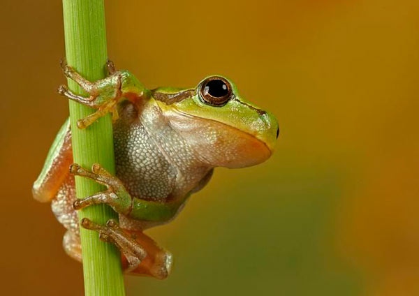 frogs from june beetles: photo