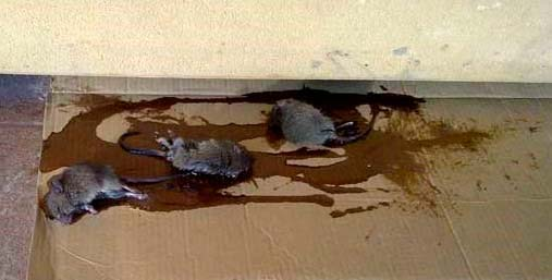 let s make the best homemade rat trap to get rid of nasty rodents. Black Bedroom Furniture Sets. Home Design Ideas