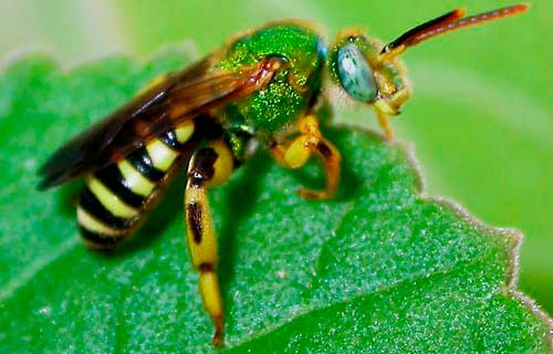 How To Get Rid Of Sweat Bees The Best Sweat Bee Repellent