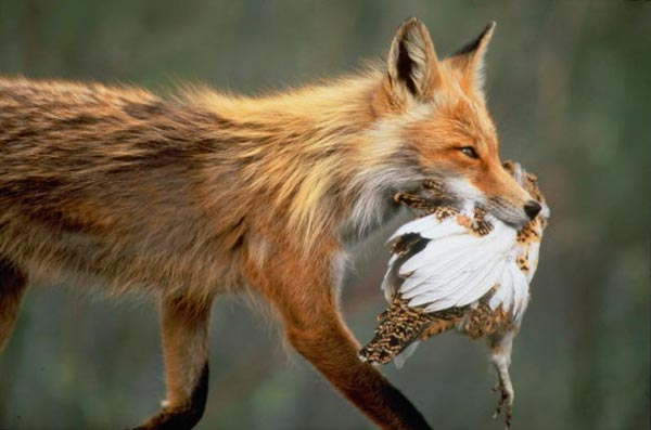 harm from foxes: photo