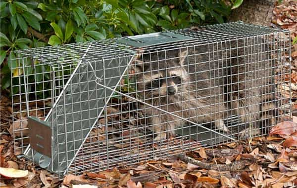 Havahart 1079 Live Animal One-Door Trap for racoons