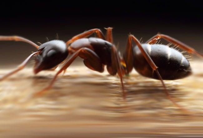 Hormigas de carpintero