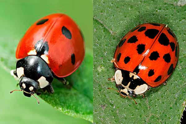 Asian Lady Beetle Vs Ladybug