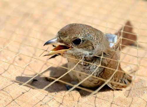 Ловушки для птиц: фото