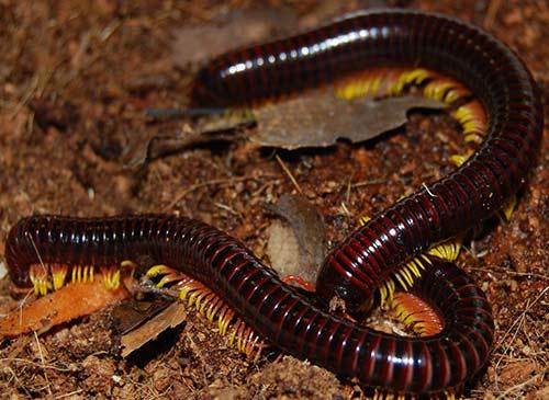 danger of millipedes: photo