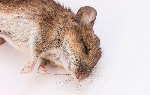 dead mouse: photo