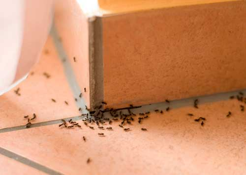 how to get rid off ants around the house