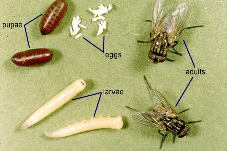 How are fruit flies born and all about stages of their ...