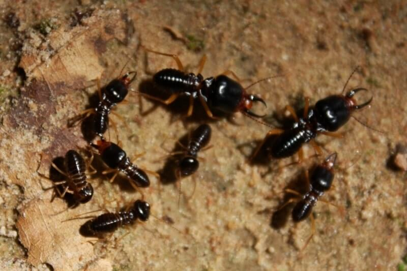 Subterranean Termites and Different Kinds of Termites – How to Identify Them