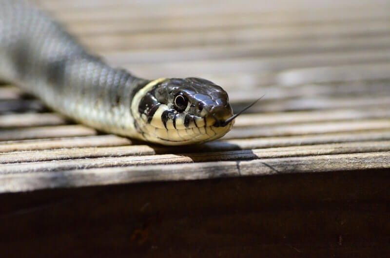 How to repel snakes: best natural and chemical snake repellents