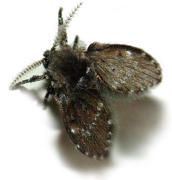 C mo deshacerte de la moscas de drenaje alcantarilla - Como sacar las moscas de la casa ...