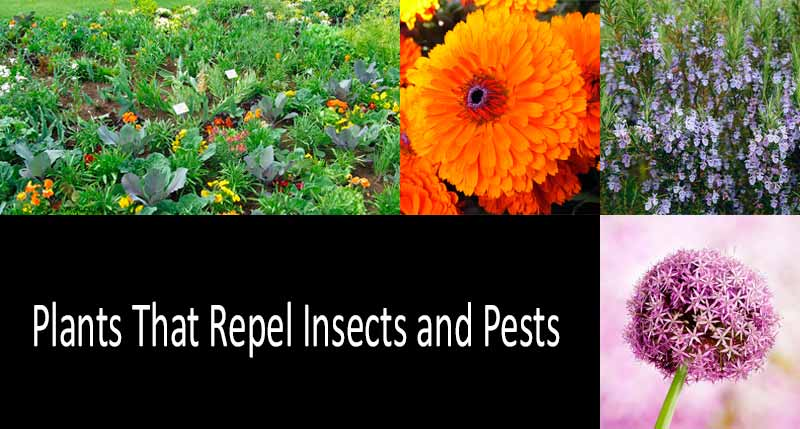 Plants That Repel Bugs, Flies, and 48 Other Annoying Insects and Pests