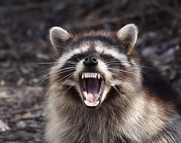 How To Repel Raccoons: What is the best raccoon repellent?