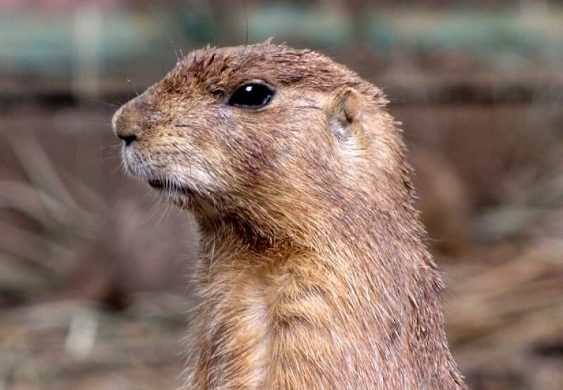 How to get rid of gophers? What is more efficient: gopher traps, poisons or repellents? Gopher control: which methods are approved by scientists?