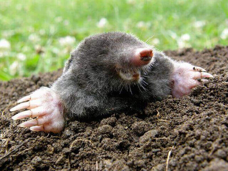 How to Get Rid Of Moles in the Yard Fast and Forever