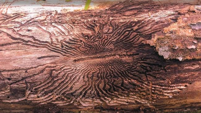 Emerald ash borer treatment: How to cure infested trees?