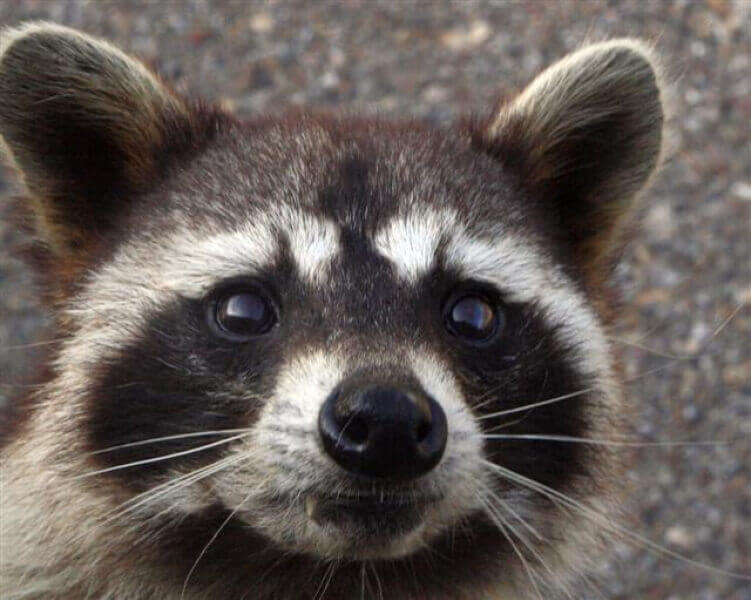 Top-5 raccoon traps: How to choose a raccoon trap