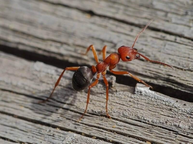 Los 7 Mejores Exterminadores de Hormigas de Fuego: una Reseña de Señuelos en Gel, Polvos e Insecticidas