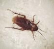 ¿Las cucarachas pican? ¿Cuáles son los síntomas de las picaduras de cucaracha? ¿Cuál es el tratamiento para las picaduras de cucaracha?