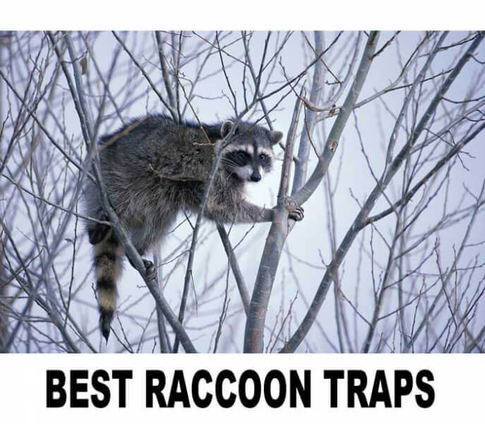 How to Choose a Raccoon Trap: A Comparative Review of 7 Popular Raccoon Traps