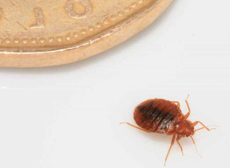 How Fast Bed Bugs Spread