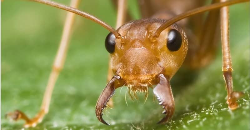 mejor asesino de hormigas