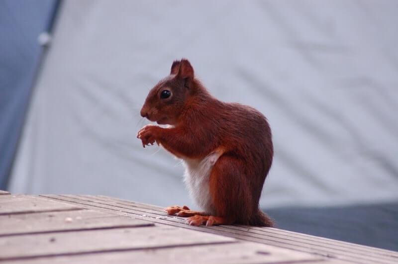 Melhores armadilhas para esquilos, 3 repelentes e  3 reviews: O guia completo para se livrar dos esquilos